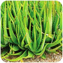 Aloe_barbadensis