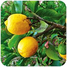Citrus_limonum