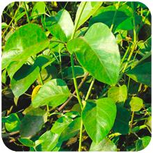 Leptadenia_reticulata-2
