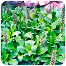 Picrorrhiza_kurroa