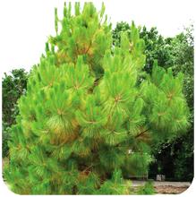 Pinus-roxburghii