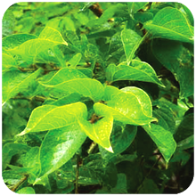 Symplocos-racemosa-Lodh-Tree-Lodhra