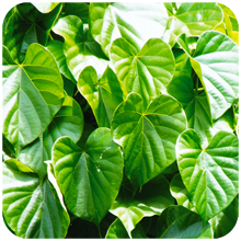 Tinospora_cordifolia